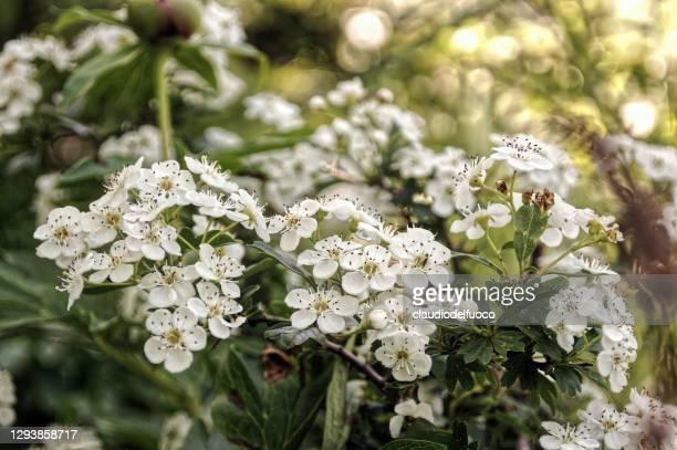 crataegus monogyna (hawthorn) - hawthorn,_victoria stock pictures, royalty-free photos & images