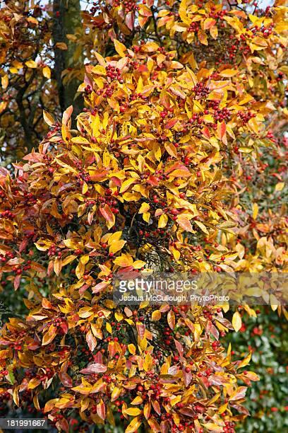 crataegus x lavallei in fall color - x art stock-fotos und bilder