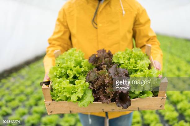 Crate and lettuce