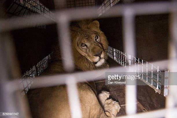 A crate carrying one of the 33 Lions rescued from circuses in Peru and Columbia is lifted onto the back of a lorry before being transported to a...