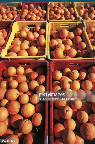 Crate full of freshly picked oranges in the eastern side of Mount Etna Sicily Italy