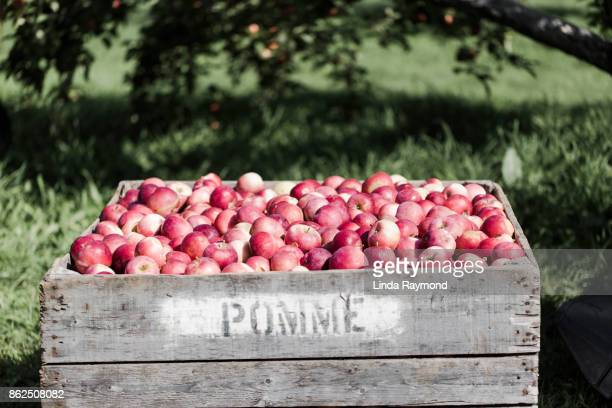 Crate of apple in a orchard