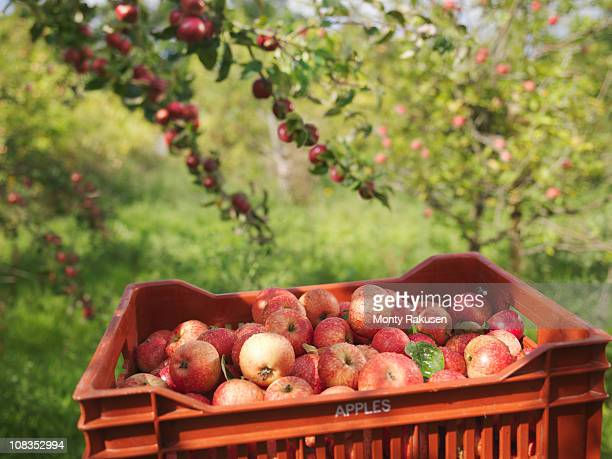 Crate of apples in orchard