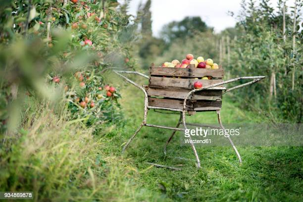 crate with apples in orchard - appelboom stockfoto's en -beelden