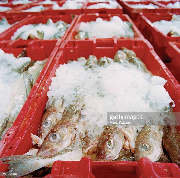 Crates Filled With Ice and Fresh Fish, Grimsby Fish Market, UK