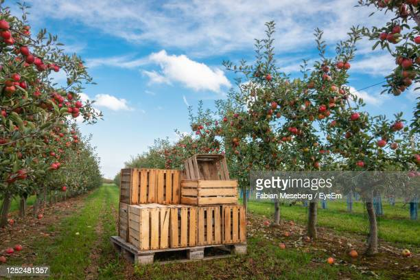 crates in orchard full of apple trees with ripe apples ready for harvest against blue sky - orchard road stock pictures, royalty-free photos & images