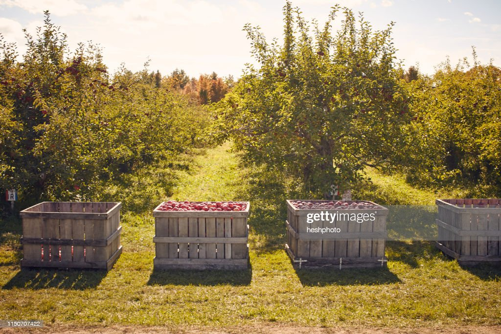 Crates of apples in orchard : Stock Photo