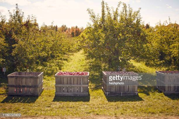 crates of apples in orchard - orchard stockfoto's en -beelden