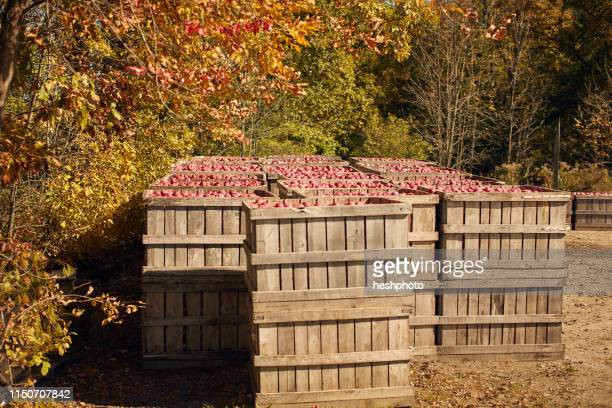 crates of apples in orchard - heshphoto stock pictures, royalty-free photos & images