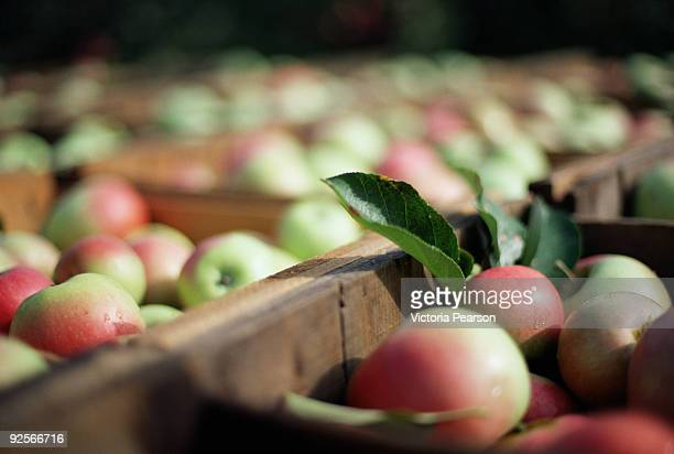 crates of ripe apples - appelboom stockfoto's en -beelden