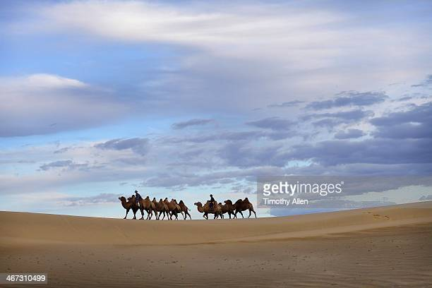 cravan of camels walks across gobi sand dunes - omnogov stock pictures, royalty-free photos & images