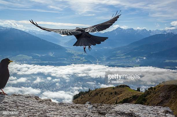 craw launches at seegrube, above innsbruck - crow bird stock photos and pictures