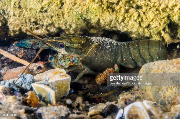 Crawfish hiding under rocks and crevices in Lake Murray, Oklahoma.