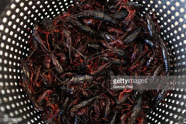 Crawfish sit in the bottom of a container at the shrimp lot fish market June 17 2010 in Westwego Louisiana With over 19% of the Gulf of Mexico closed...