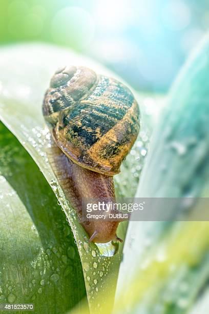 Crawling snail on green leaf with dew drop