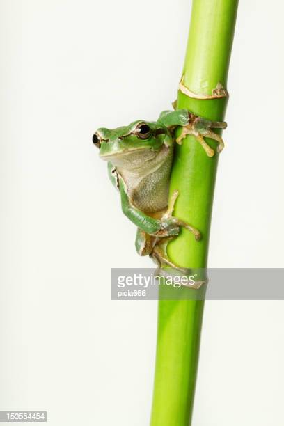 Crawling Tree Frog on a Bamboo Stick