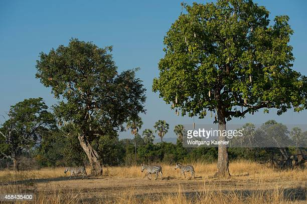 Crawshay's zebras under a sausage tree in South Luangwa National Park in eastern Zambia