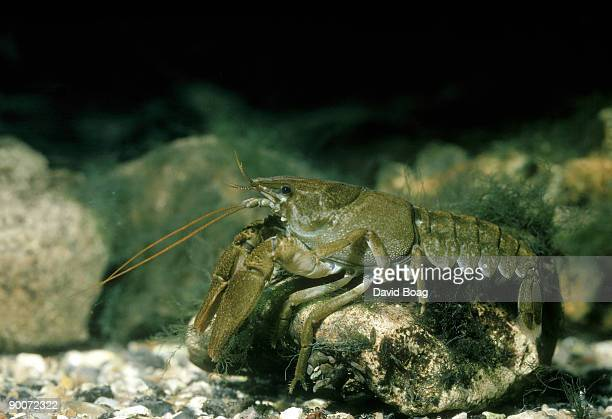 crayfish austropotamobius pallipes uk