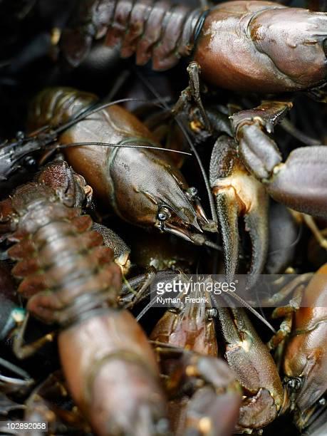 Crayfish, close-up