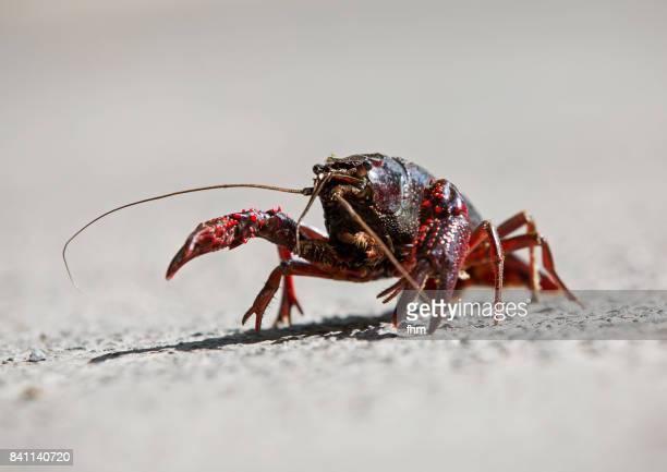 Crayfish on a road in Berlin (Berlin, Germany)