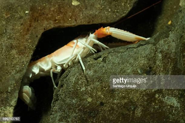 Crayfish on its nest