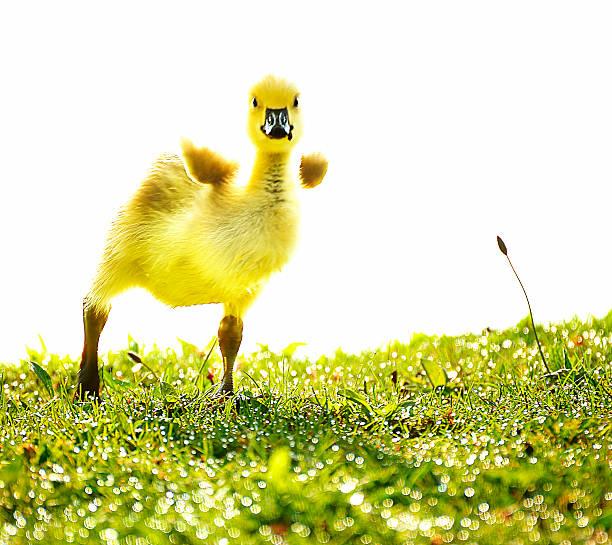 Crazy little gosling