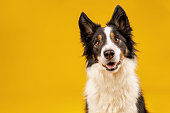 Crazy looking black and white border collie dog say looking intently on bright yellow background