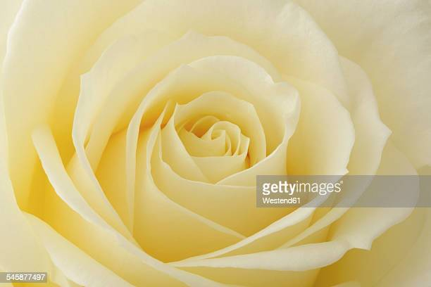 Cream coloured rose, Rosa, close-up