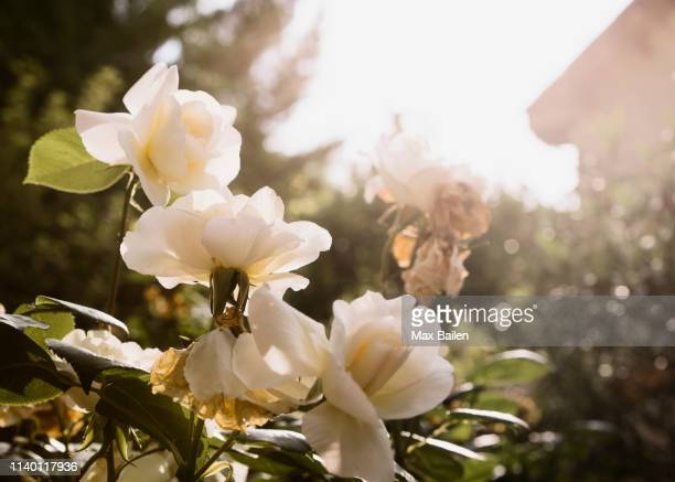 cream coloured roses - cream colored stock photos and pictures