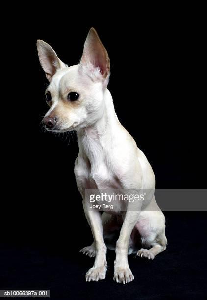 cream-colored chihuahua dog on black background, close-up - chihuahua raça pura - fotografias e filmes do acervo