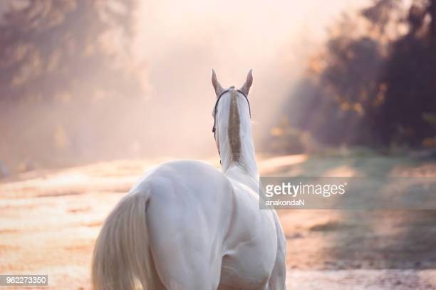 creamello purebred akhalteke stallion at early morning. back view