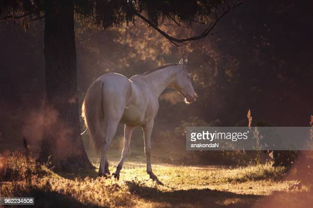 creamello purebred akhalteke stallion at early morning