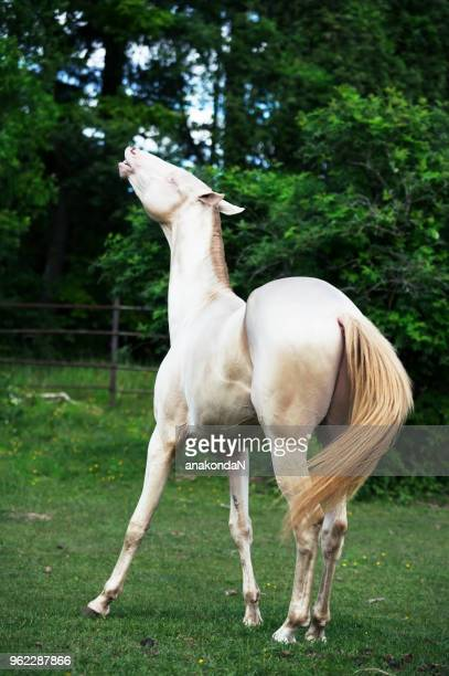 creamello purebred akhalteke stallion at freedom