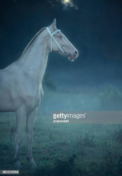 creamello purebred akhalteke stallion in night  fog