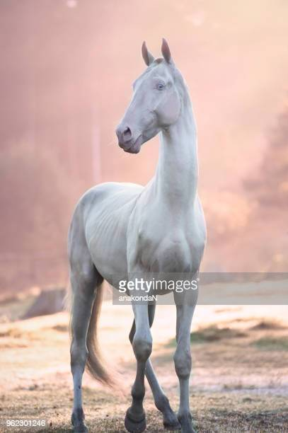 Creamello purebred akhalteke stallion posing in early  morning rays
