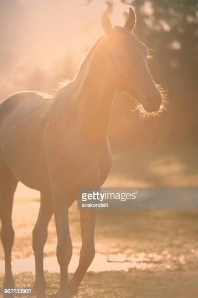 Creamello purebred akhalteke stallion walking in early  morning rays