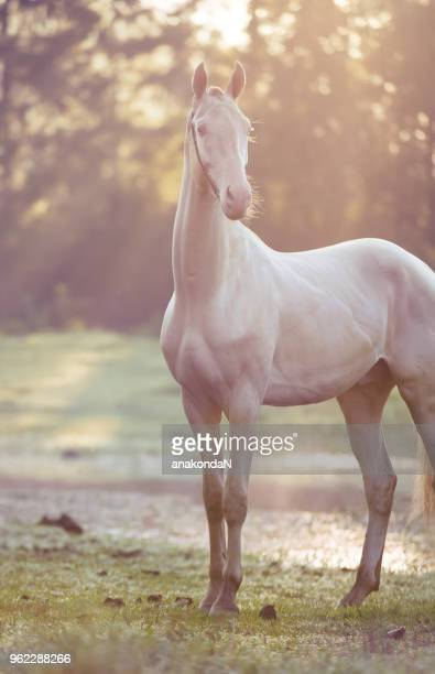 creamello purebred young akhalteke stallion at early morning