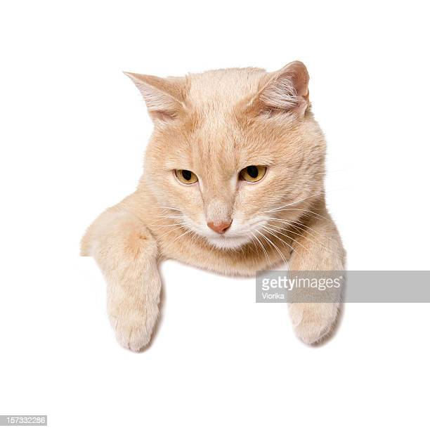 A cream-orange cat hanging over a white wall