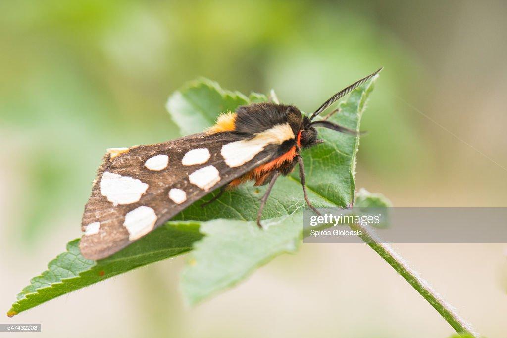 Cream-spot Tiger moth : Stock Photo