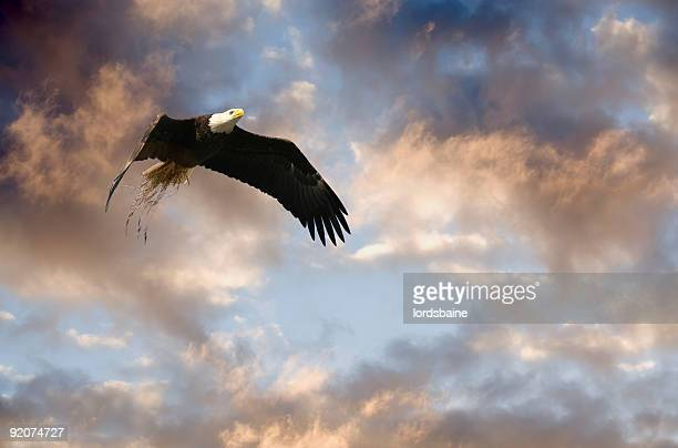 creating a home - eagle nest stock photos and pictures