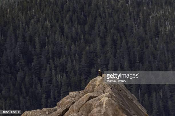 Creative Brief - Nature and Wildlife Bald Eagle