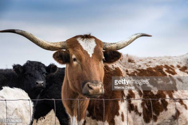 creative brief - nature and wildlife longhorn cattle - texas longhorn cattle stock photos and pictures