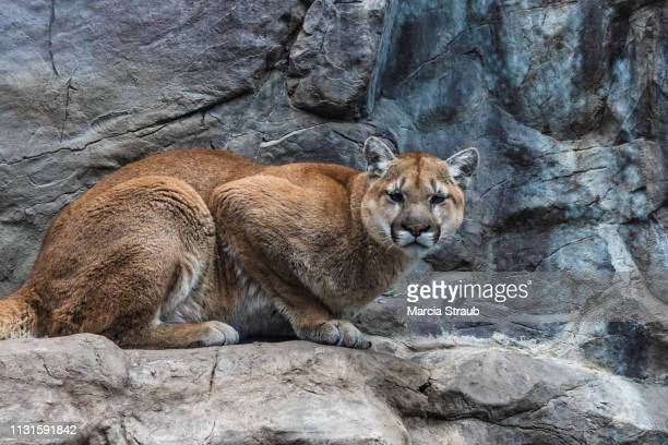 creative brief - nature and wildlife mountain lion - puma stock photos and pictures