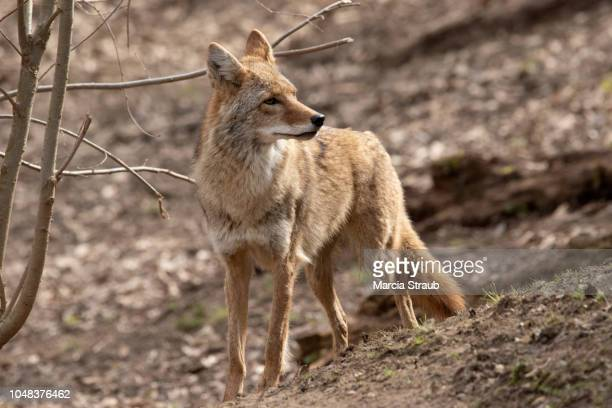 creative brief - nature and wildlife - coyote stock pictures, royalty-free photos & images