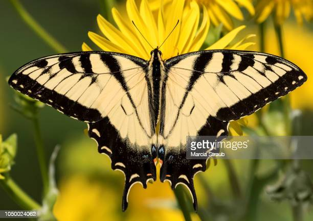 creative brief - nature and wildlife - swallowtail butterfly stock pictures, royalty-free photos & images
