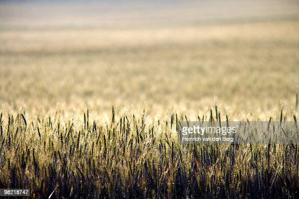 creative view of wheat field, overberg, western cape province, south africa - overberg stock pictures, royalty-free photos & images