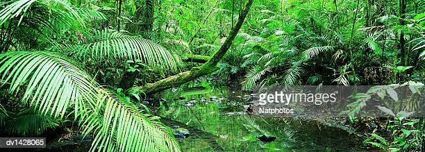 Creek Flowing Through a Palm Grove, Tropical Rainforest, Queensland, Australia
