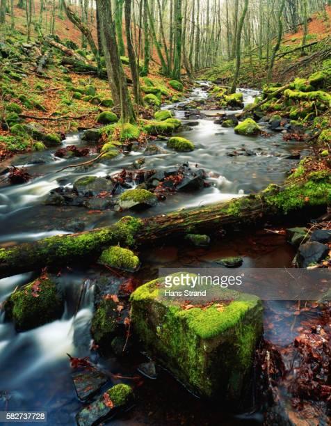 Creek in a Beech Forest