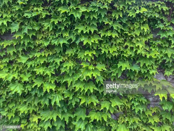 creeper plant climbing on abandoned building - creeper stock pictures, royalty-free photos & images