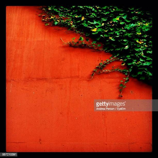 Creeper Plant Growing On Orange Color Wall